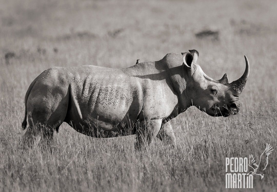 Rinoceronte Blanco (o Chato),