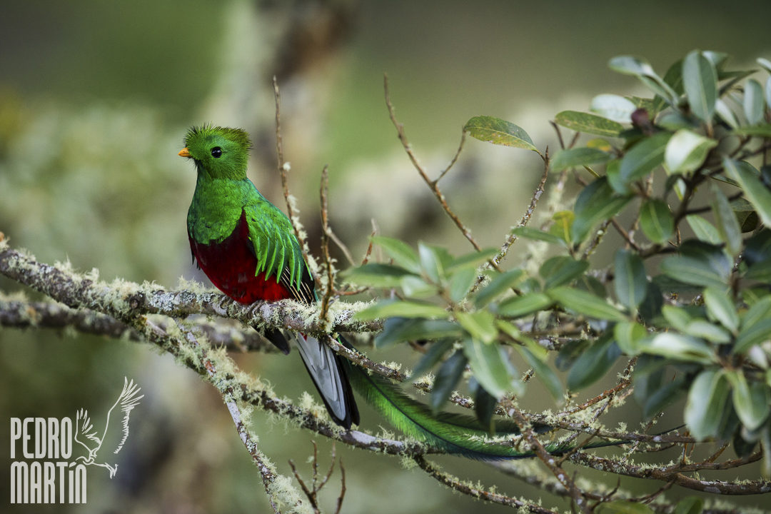 Quetzal,
