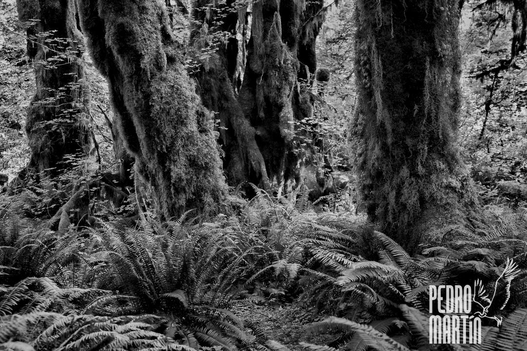 «Maple grove». Arces cubiertos de musgos y líquenes.. «Hall of moses trail»