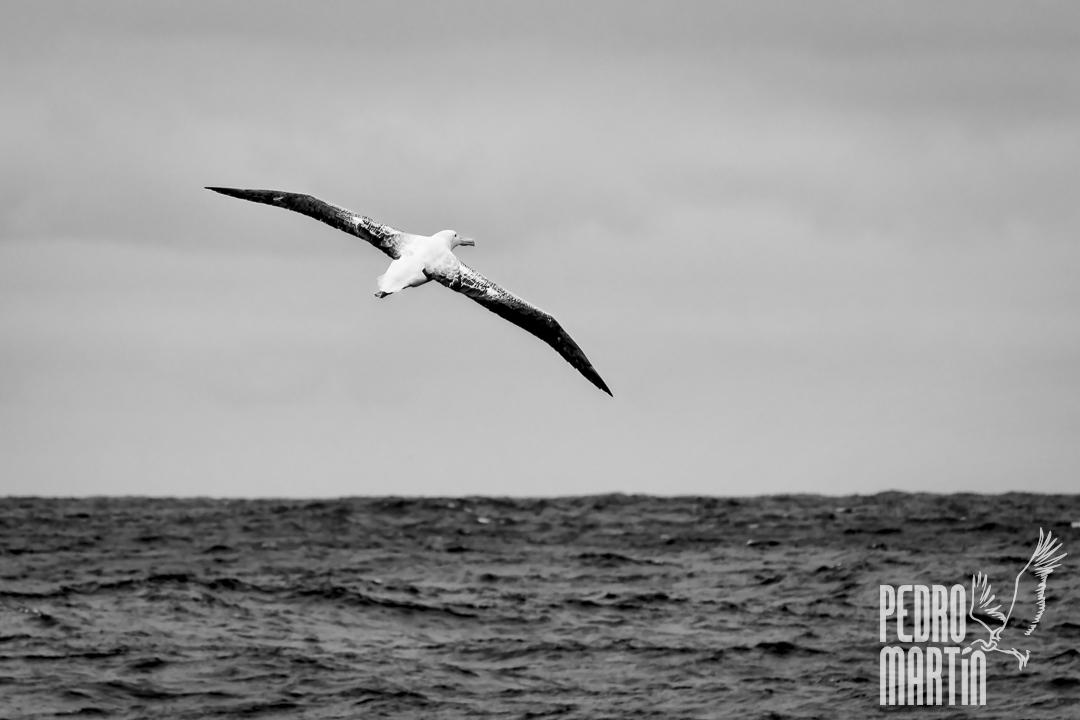 Albatros errante, Wandering Albatross,