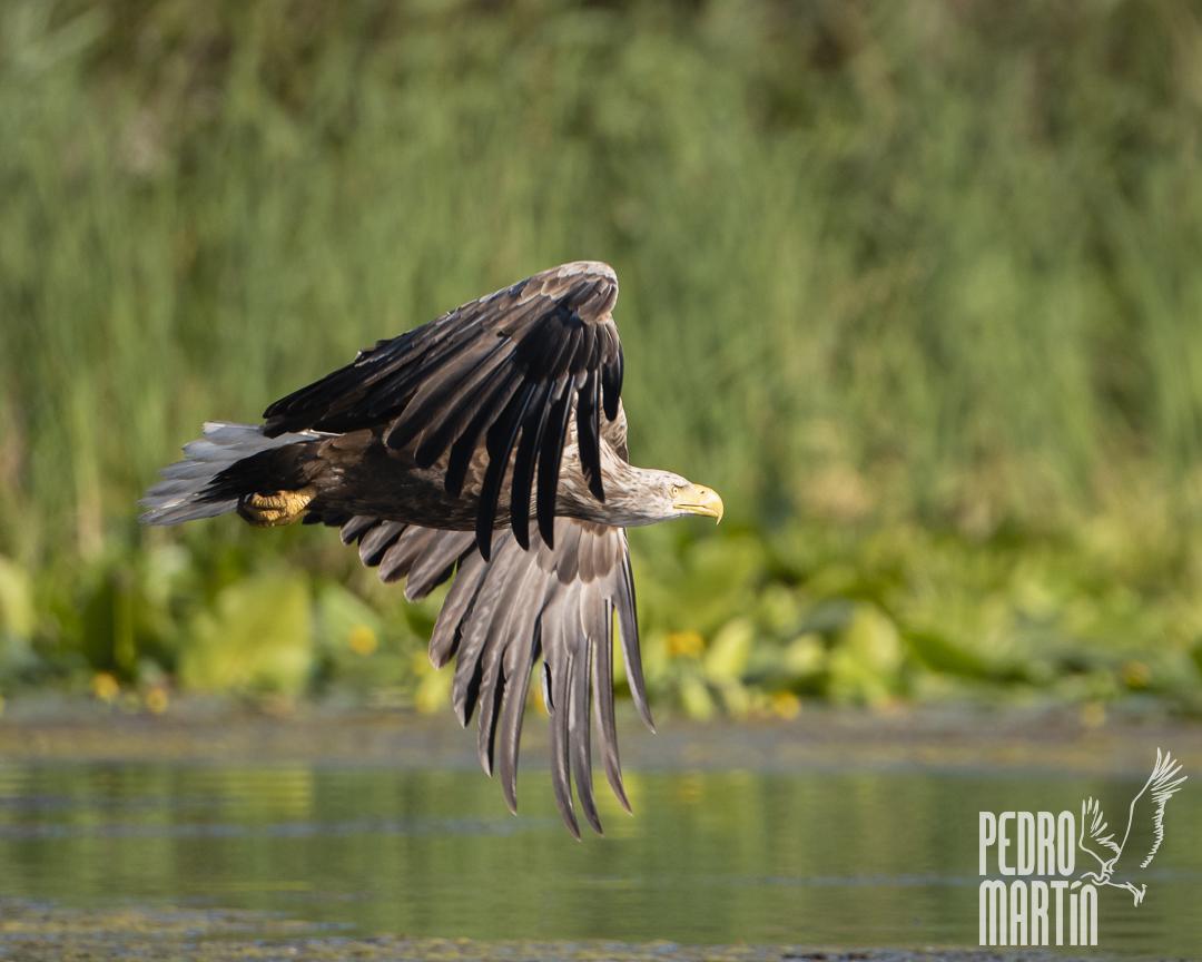 Pigargo europeo, Àguila marina,
