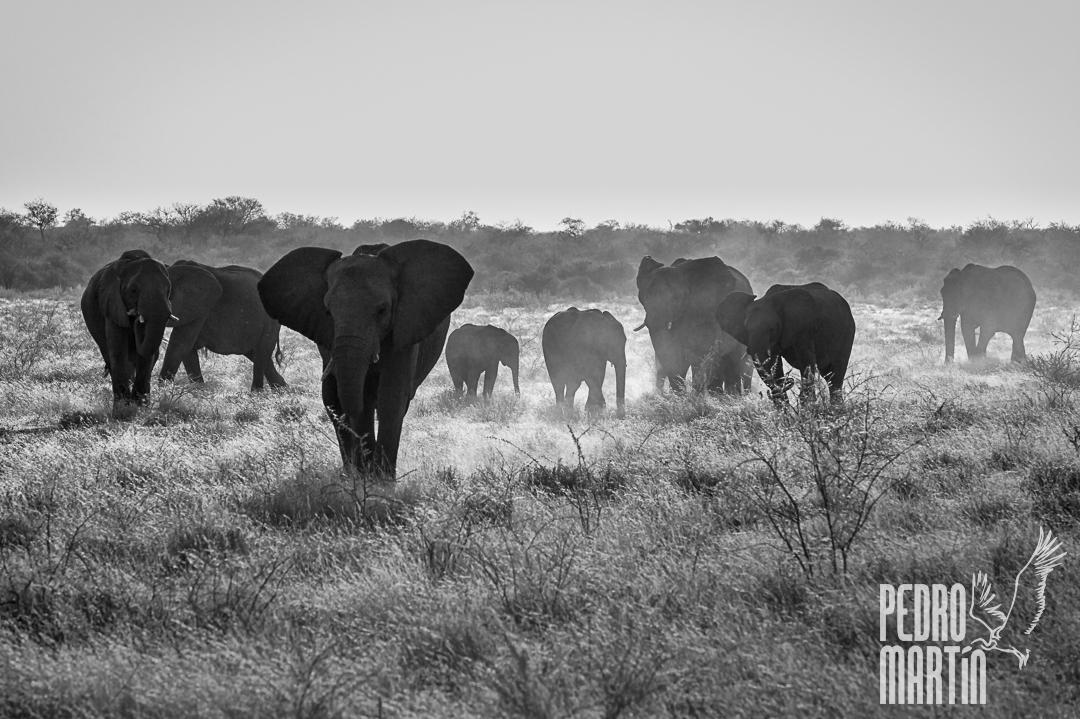 Elefante africano,