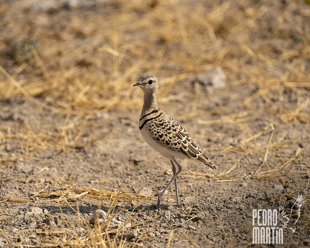 Corredor escamoso chico, Double banded courser,
