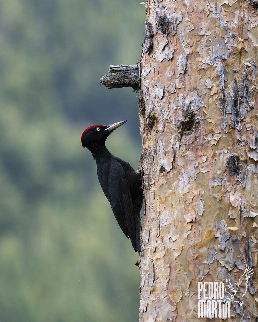 Picamaderos negro, Picot negre, Black woodpecker, «Dryocopus martinus»